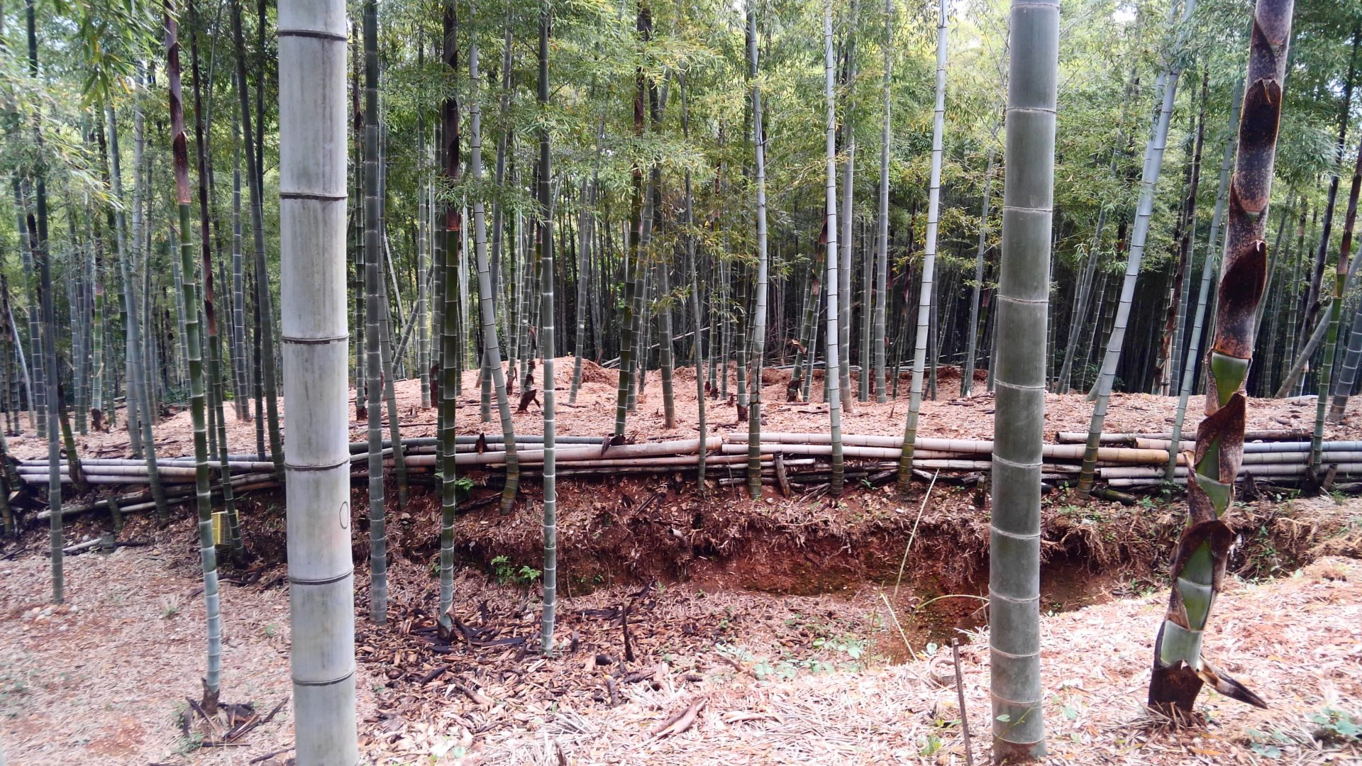 長岡京の竹林ですき焼きパーティー。竹林の平らな部分はパワースポットに!